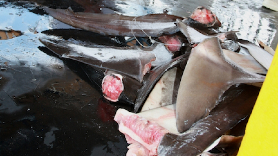 Shark fins cut from legally-caught fish are piled separately on a dock in Puntarenas.